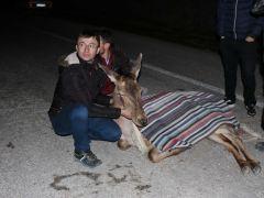 Bolu'da yaralı halde bulunan geyik tedavi altına alındı