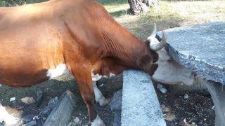 Kafası beton piknik masasına sıkışan ineği itfaiye kurtardı