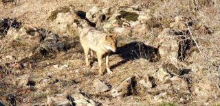Yiyecek bulamayan yaban hayvanları yerleşim alanlarına indi