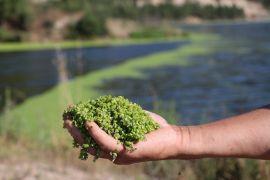 Alg patlaması yaşanan göl yeşil örtüyle kaplandı
