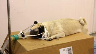 Bolu'da hastalanan köpek Ankara'ya sevk edildi