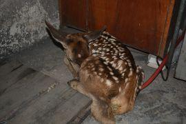 Yaylada bitkin halde buldukları geyik yavrusunu biberonla beslediler