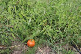 Yapılan deneyde hastalık bulaşan hibrit domatesler çürüdü, yerli tohumlar dayanıklı çıktı